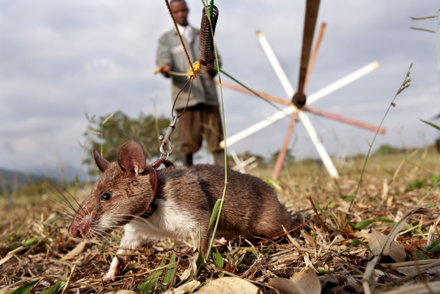 Art and Documentary Photography - Loading Hero_Rats_-_Ratas_Heroes__-_david_rengel-04.jpg