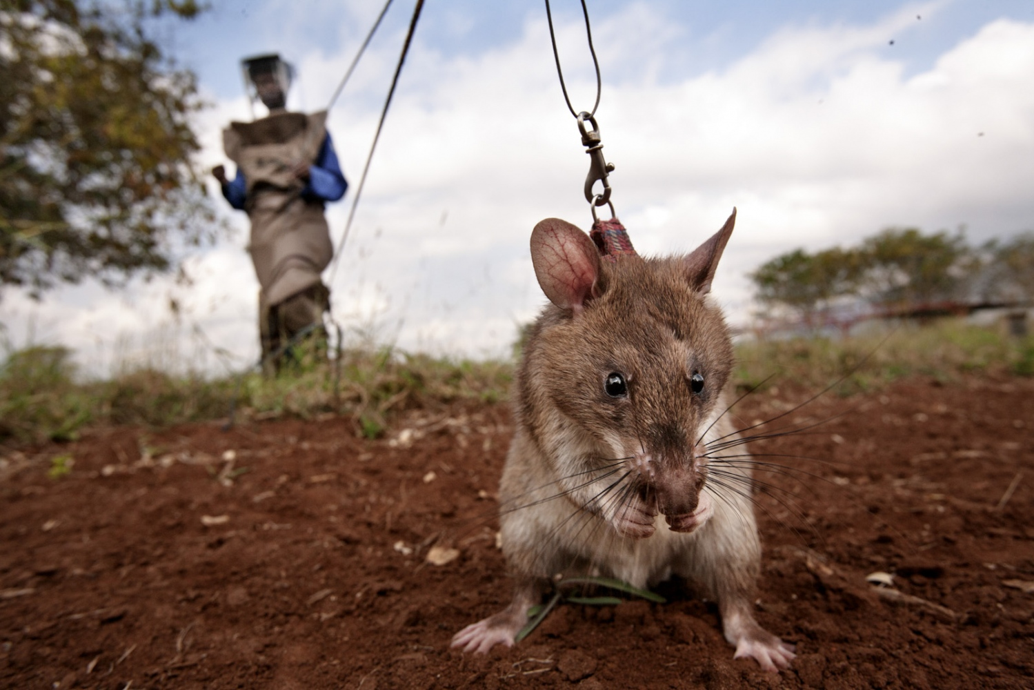 Art and Documentary Photography - Loading Hero_Rats_-_Ratas_Heroes__-_david_rengel-07.jpg