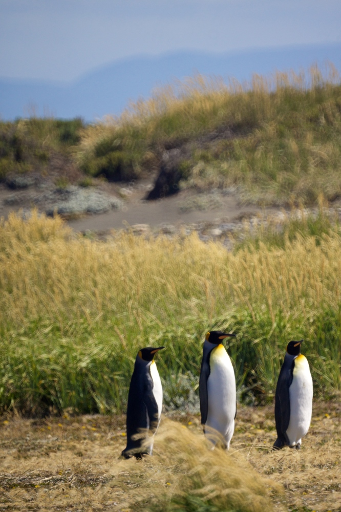 Art and Documentary Photography - Loading King-Penguin-_016.jpg