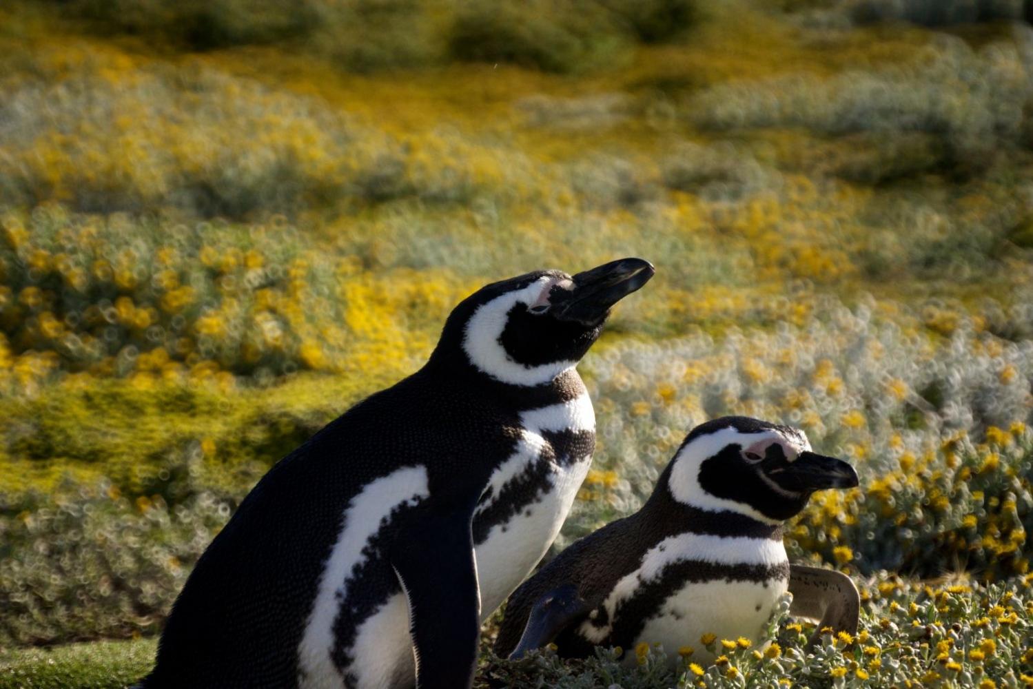 Art and Documentary Photography - Loading Magellenic-Penguin-_015.jpg