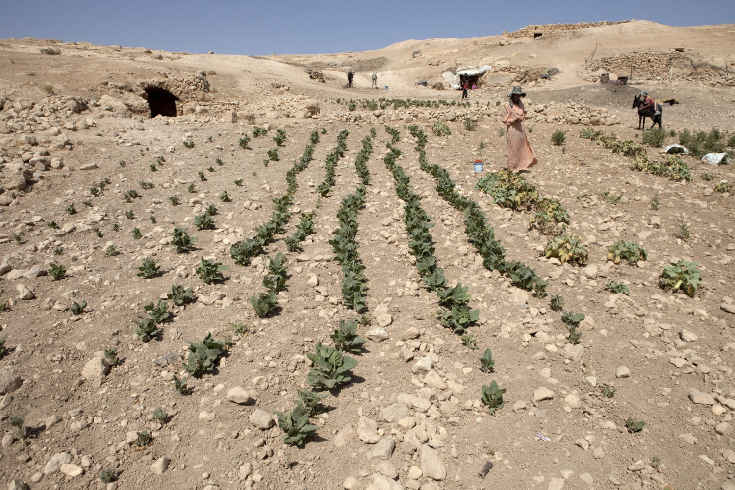 South Hebron hills. Palestinan farmers tend rows of tomato plants which mark the Green Line. The cave on the left was a family home, but has been abandoned as it sits inside Israel. Instead, they live in the cave on the right, where they say they receive less harassment from Israeli soldiers.