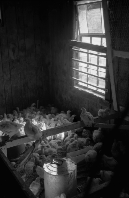 Art and Documentary Photography - Loading Chicks.jpg