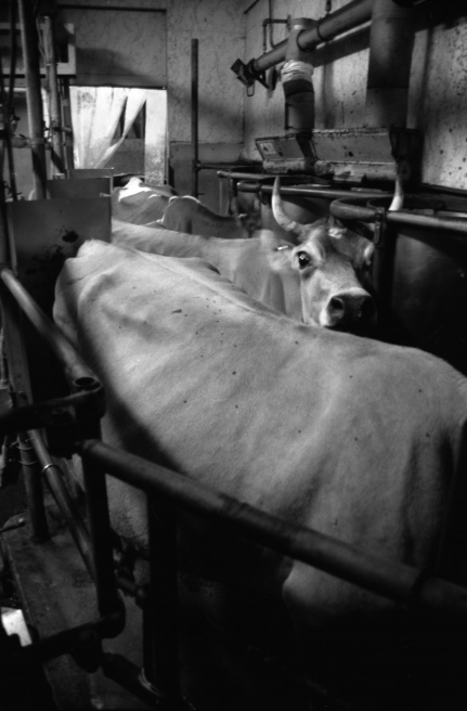 Art and Documentary Photography - Loading Milking.jpg