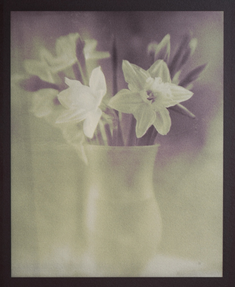 A new interpretation of these daffodils. Gum Bichromate (4 layers) over gold toned kallitype on Arches Platine paper. Two layers used Mayan Yellow, and two layers used Opera (magenta) mixed with a tiny bit of Prussian Blue. The gold-toned kallitype base had a faint purple/eggplant hue to start with.