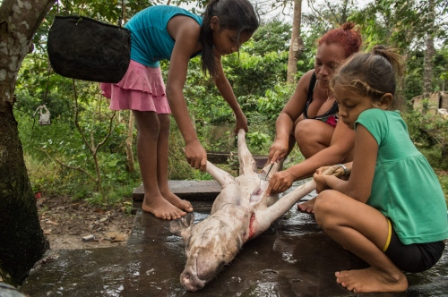 A family cleans and guts a pig for food in the Raimundo Community on the Rio Madeirinha, a tributary of the Amazon river in Amazonas, Brazil Wednesday June 19, 2015. Doctors and dentists working with the  Basic Health Unit River (BFHU) system, provide primary care visiting indigenous communities via the   Igaracu, a boat outfitted and designed to provide medical and dental assistance. They v isit these communities during a 20 day period up and down parts of the Amazon river and its tributaries. The Igaracu is the first government subsidized medical boat for Brazil.