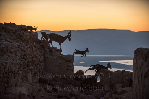 Mountain goats are seen jumping on the top of The Fortress of Masada overlooking the Dead Sea, Israel April, 23, 2014. Photo Ken Cedeno
