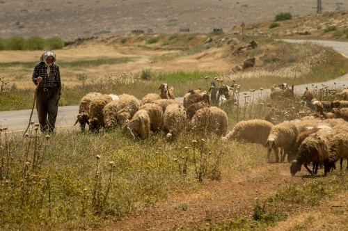 A man herds his sheep April, 24, 2014 in Golan Heights, Israel. Photo Ken Cedeno