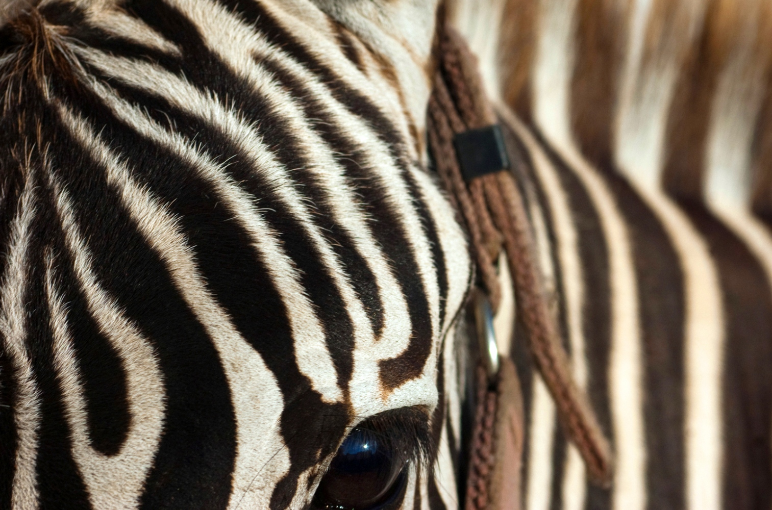 Art and Documentary Photography - Loading zebra_2F2.jpg
