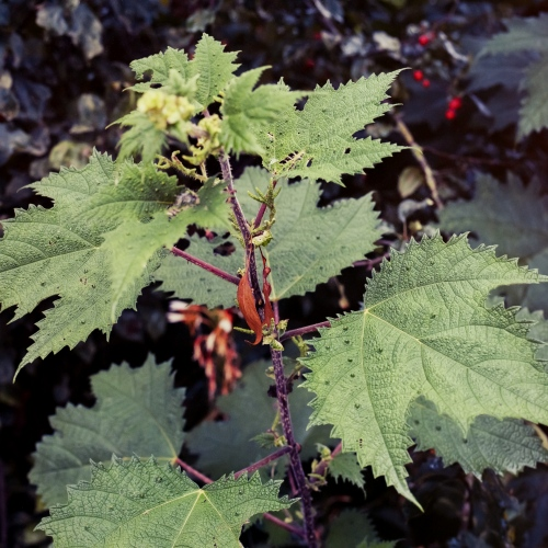A stinging nettle plant used by well learned Chinese medical practitioners to heal bones injuries.