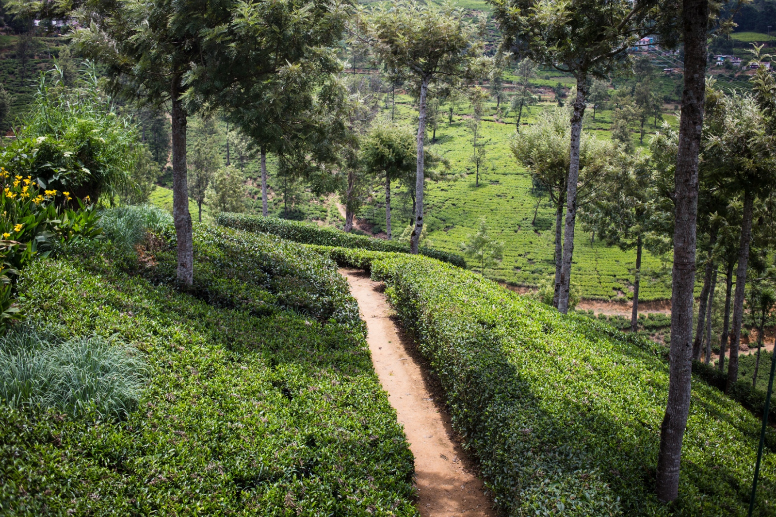 Nuwara Eliya tea plantations.