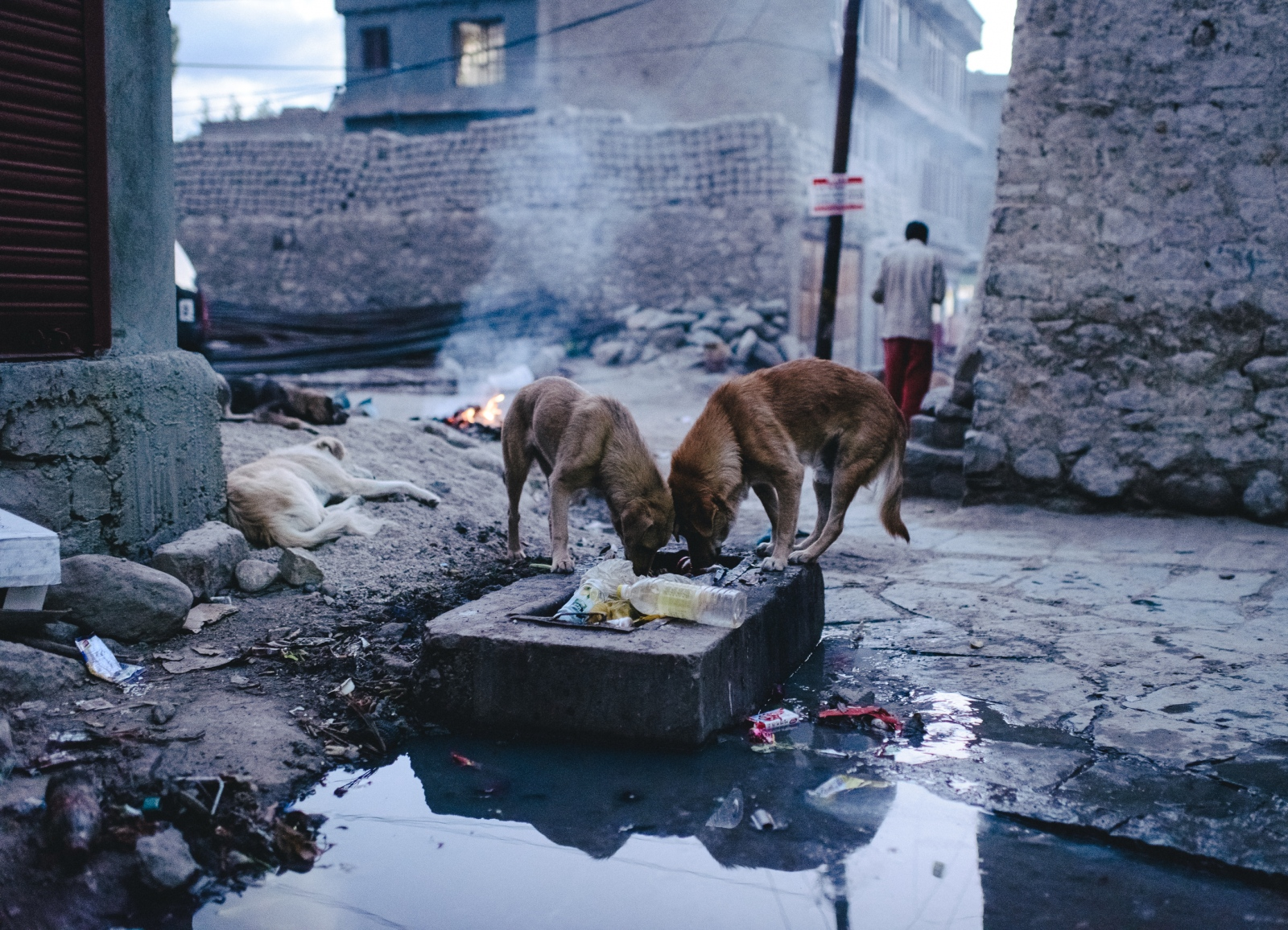 Stray dogs sift through trash heeps looking for food behind the central mosque, Jamia Masjid in Leh, Ladakh. Like many cities, the strays risk the prospect of severe health defects due to contaminated water and poor sanitation.
