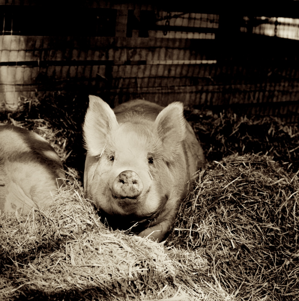 Ogar, now living at Farm Sanctuary in New York Rescued from a hoarder