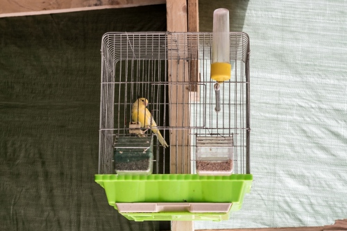 A yellow bird in a cage inside a refugee's tent.