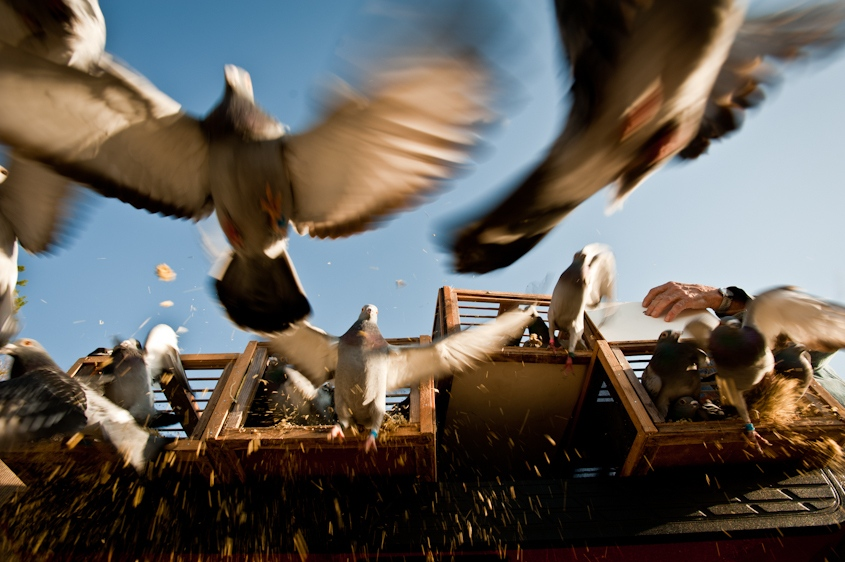 Art and Documentary Photography - Loading 1_0_106_1pigeons_10.jpg