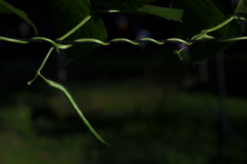 """Photography image - String bean from the """"My Own Backyard"""" project. Normally, I don't post anything about projects until they are complete, but I've always got eight or ten I'm kicking around, most of which will never see the light of day. Just thought I'd see how working in public goes with this one. I have a story in mind, but it's far from assured it will work out."""
