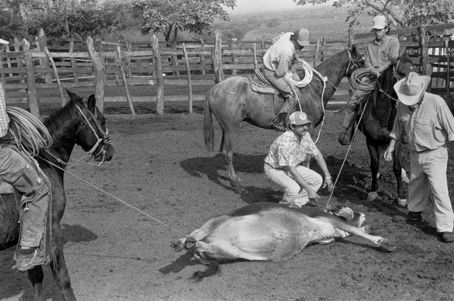 Leo de Swaan,(my other brother in law,) rancher & Huapango singer (on the far right) branding his cows at Rancho Tamyan., Ozuluama, Veracruz1985 ©Sylvia de Swaan