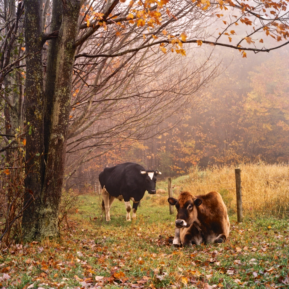 Rescued cows at Farm Sanctuary in New York