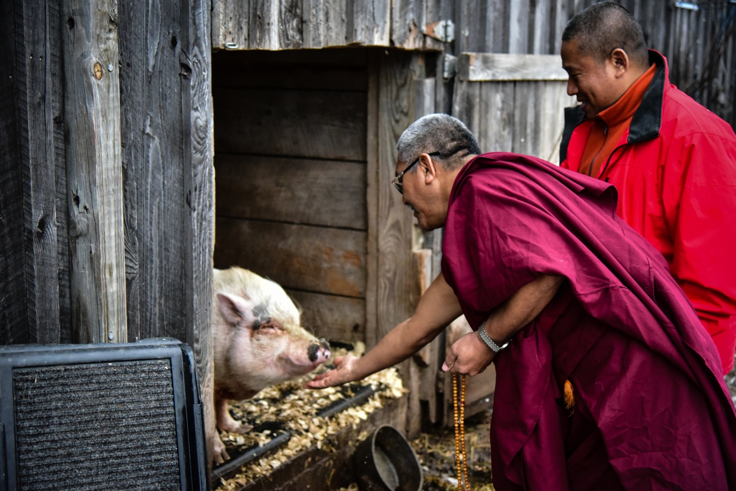 Blessing of a rescued pig by visiting Tibetan monks, Indraloka Sanctuary in Pennsylvania