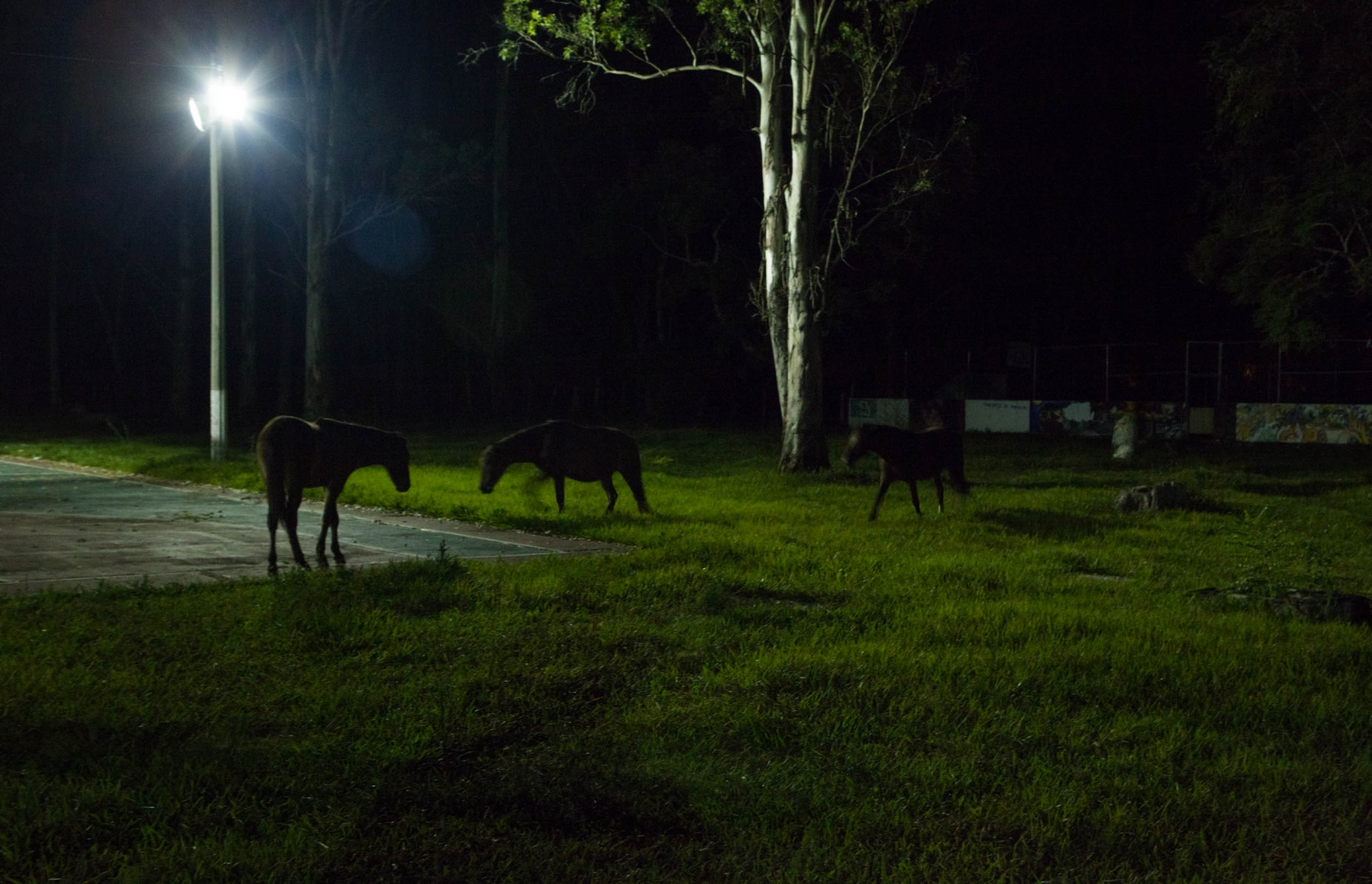 Wild horses roam around the school property freely. // Caballos salvajes pasean libremente por la escuela.
