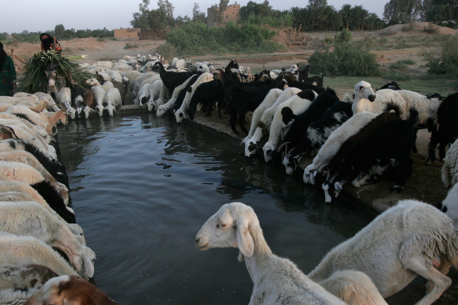 Sheep take advantage of a stop at a water hole in al-Jawf where water is very precious.