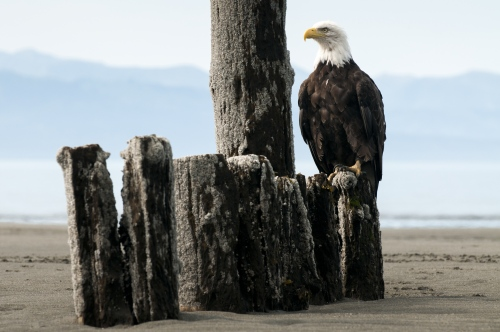An American bald eagle sits on toff of old pair pilings in Homer, AK August 8, 2009.