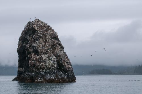 Sea gulls rest atop a rock on Rock Island off of Homer, AK August 16, 2009.