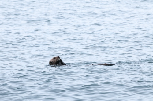 A sea otter eats while lying in its back in Kachemak Bay, Alaska August 16, 2009. Photo Ken Cedeno