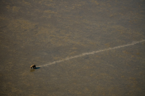A bear walks across the low tide nearKachemak BayAug 8, 2009.