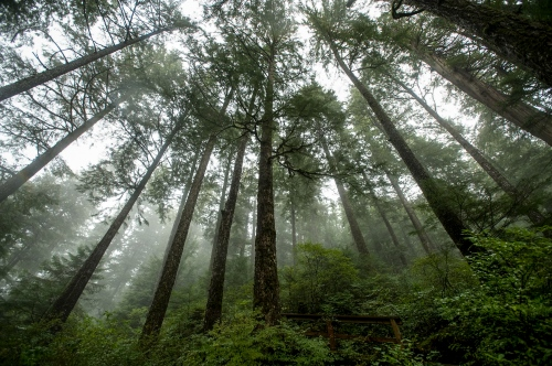 Towering trees in Tongass National Forest in south east Alaska outside of Ketchikan, AK September 19, 2009. Ken Cedeno