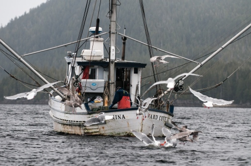 A fisherman works in his boat as seagulls fly around hoping to catch leftovers scrapings Sept 27, 2009.