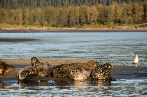 Seals rest on an outcropping of the shoreline up the Stikine River just north in Wrangell, AK. Sept 29, 2009. Photo Ken Cedeno