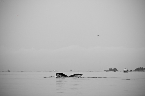 A whale makes a dive into the waters near Ketchikan, AK as fishermen fish out on the horizon Sept 27, 2009.