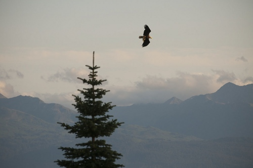 A great American eagle flies past a tree looking west towards the Alaska Range across Cook Inlet, just north of Homer, AK.