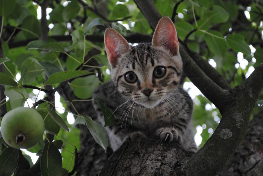 The neighbour´s kitten on my pear tree