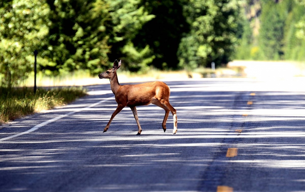 A white-tailed deer (Odocoileus virginianus), calmly cross Montana Highway 78 near Roscoe. Montana is home to a diverse array of fauna that includes 14 amphibians, 90 fish, 117 mammals, 20 reptile and 427 bird species.
