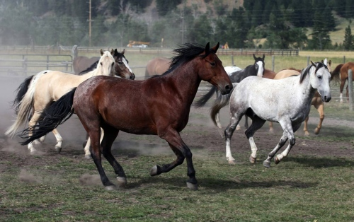 Horses from the Flying D Ranch run freely on the ranch near Bozeman.