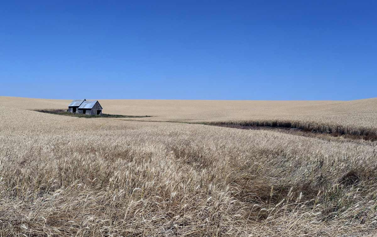 A abandoned barn sits on a wheat field near Havre Montana. The Northern Montana Prairies encompass some of the largest and most significant native grasslands remaining in the United States.