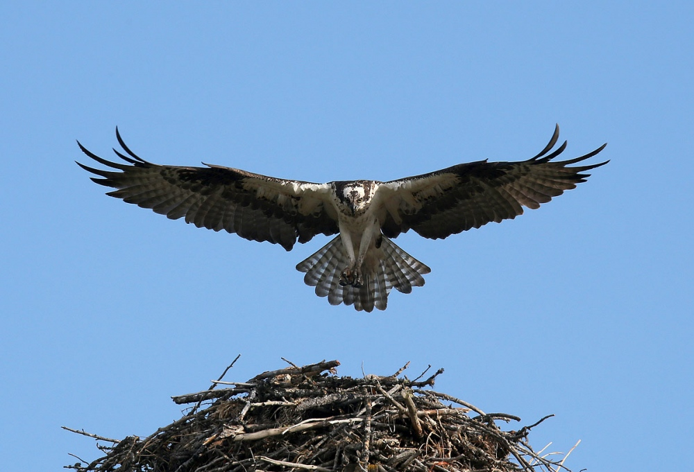 A osprey land on its nest near Charlo. Montana is home to a diverse array of fauna that includes 14 amphibians, 90 fish, 117 mammals, 20 reptile and 427 bird species.