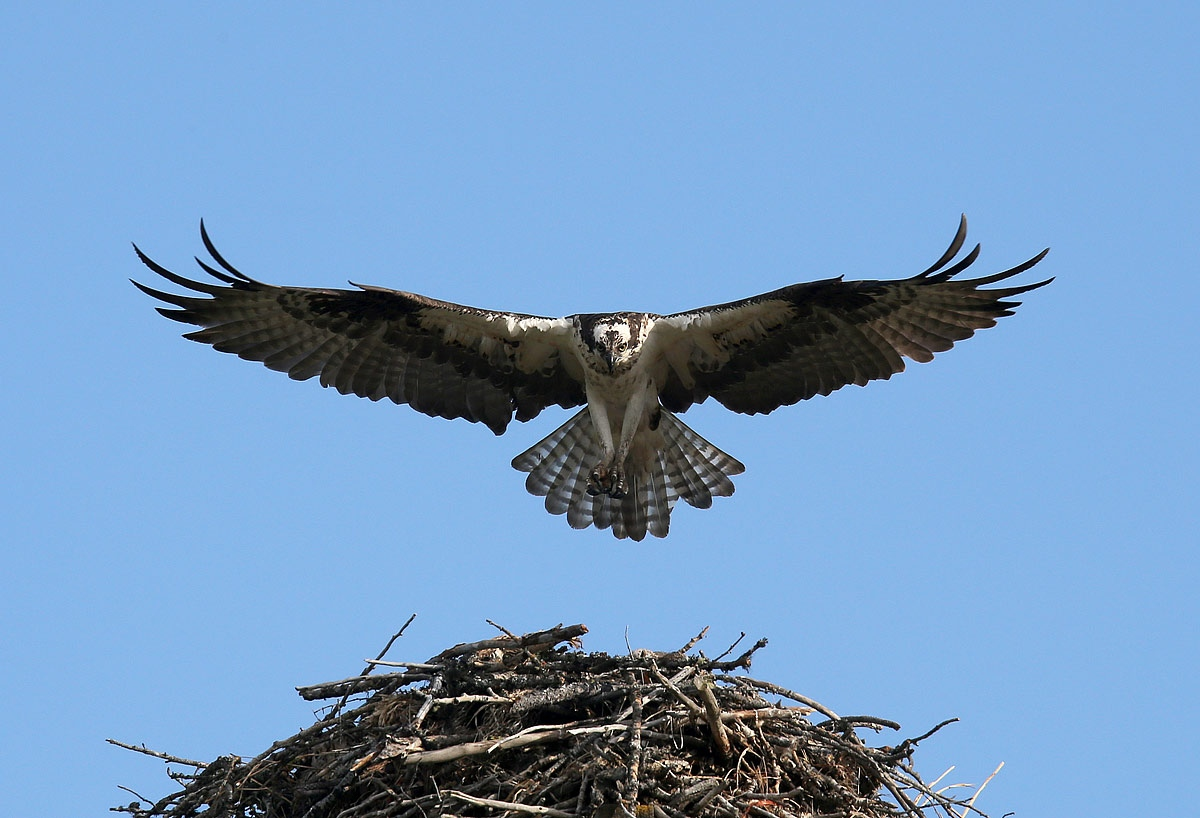 A osprey land on its nestnear Charlo. Montana is home to a diverse array of fauna that includes 14 amphibians, 90 fish, 117 mammals, 20 reptile and 427 bird species.