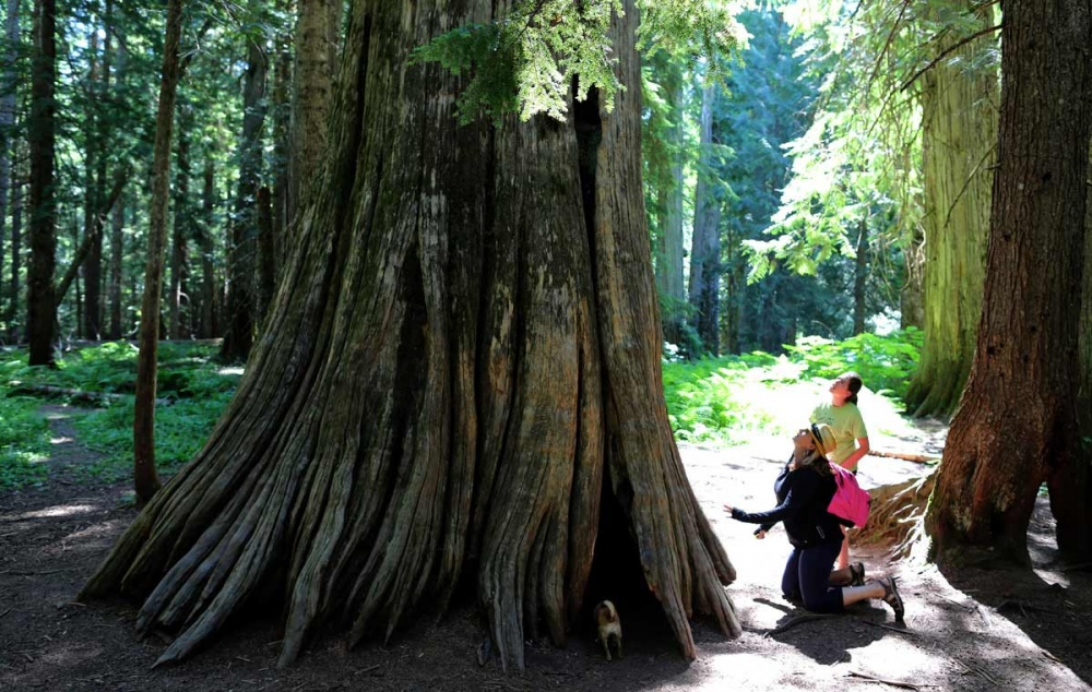 Jessica and her daughter Emily Clark checks a ancient cedar tree in a area called Ross Creek Cedars near Libby, West Montana.