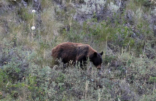 A young Grizzly bear (Ursus arctos) search for food in the Flathead National Forest near Kalispell.