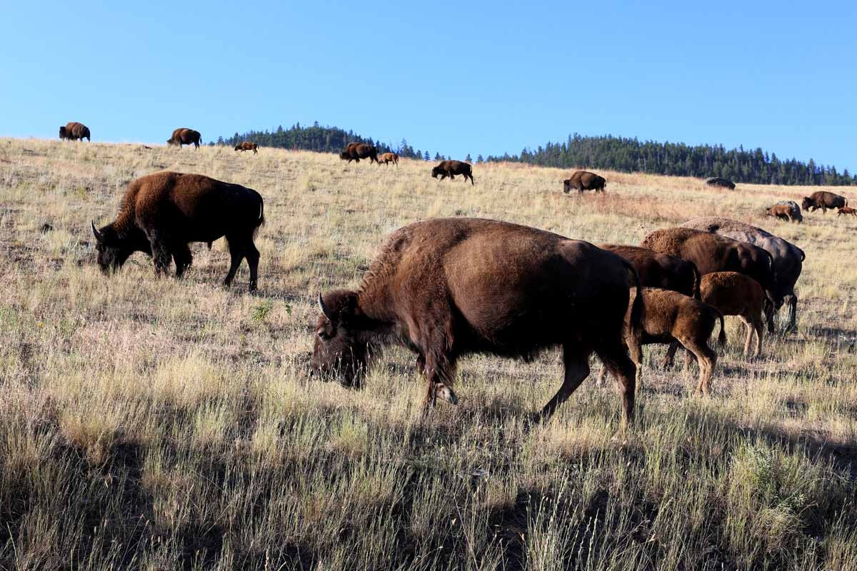 Bison graze on the grasses and sedges of the Montana prairie near Shelby.