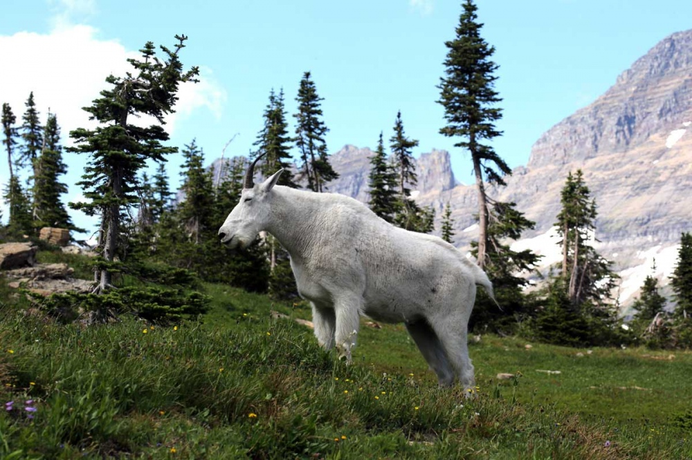 A large Mountain Goat (Oreamnos americanus) graze in the Goat Haunt Mountain in the Glacier National Park. Montana is home to a diverse array of fauna that includes 14 amphibians, 90 fish, 117 mammals, 20 reptile and 427 bird species.