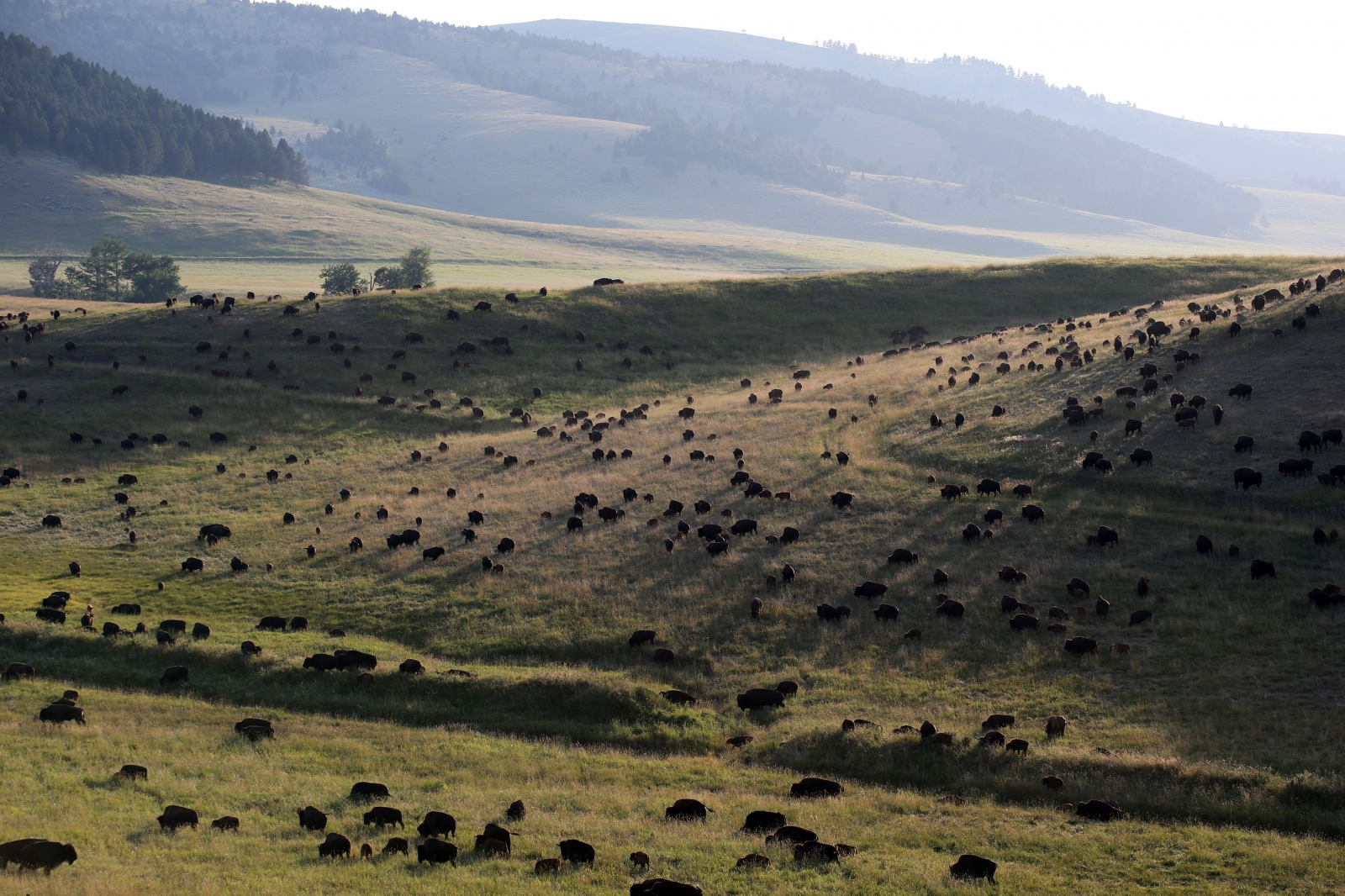 A portion of the Flying D's Ranch 5,000-head bison herd near Bozeman.