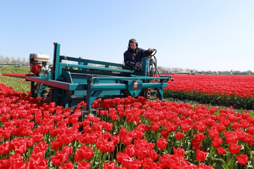 A Young Polish migrant worker cut tulip heads on a field near Alkmaar, Nord-Holland.