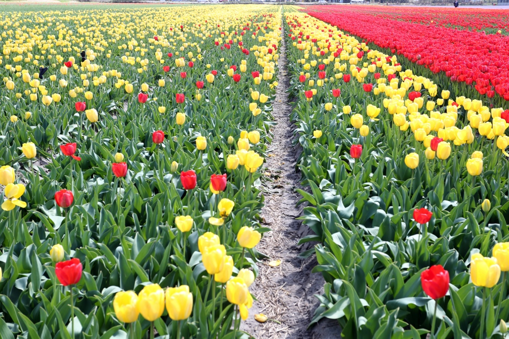 Yellow and red tulips are seen on a field in the town of Heiloo, Nord-Holland.
