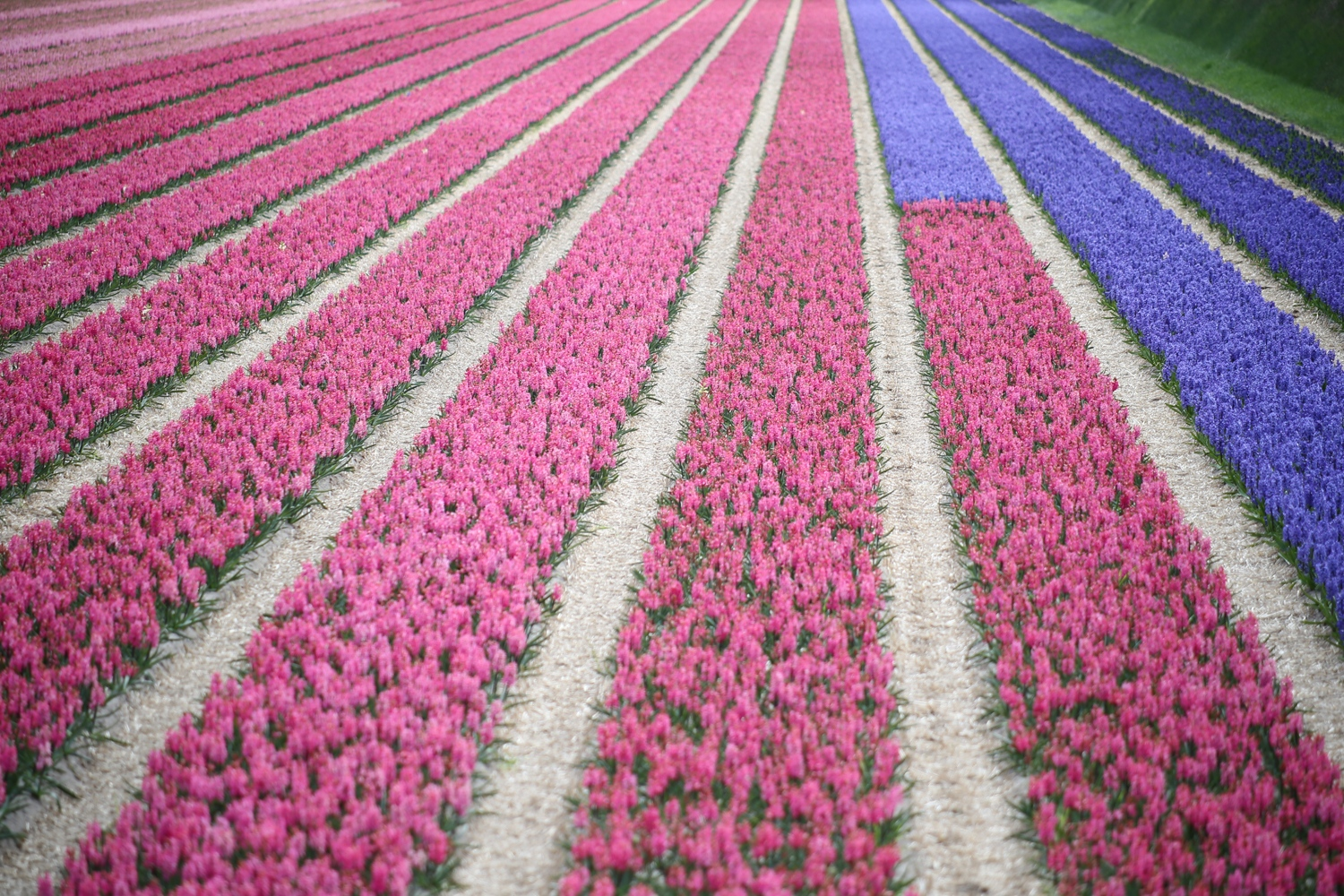 A field of pink and purple hibiscus is seen near Lisse, Netherlands.