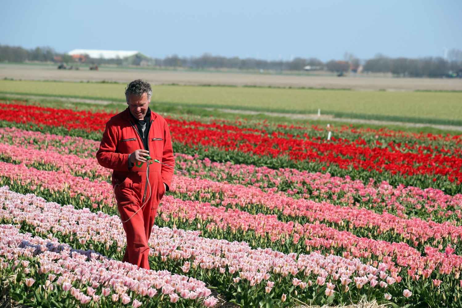 Tulip Grower Pete Fesser, tend to his tulip field near Anna Paulowna, Nord-Holland.