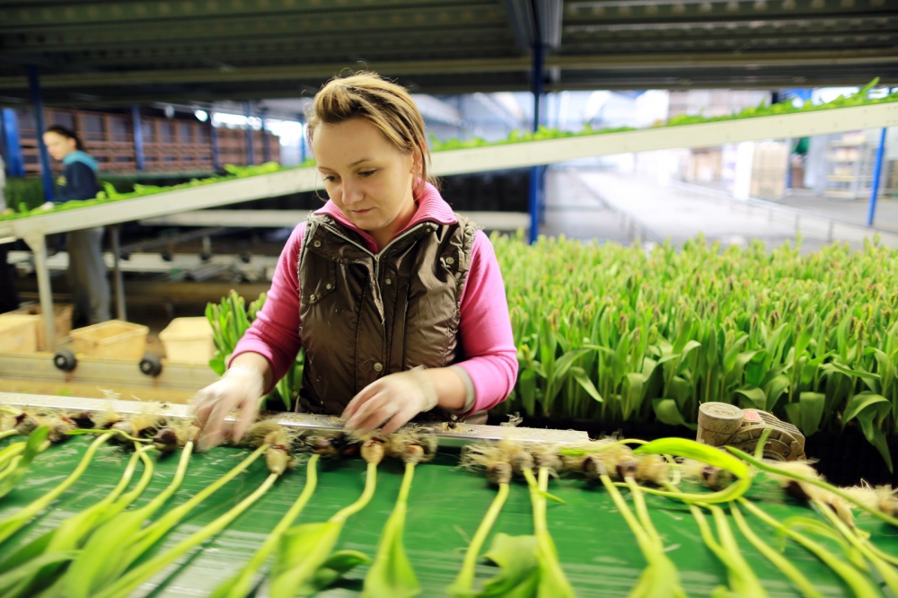 A Polish migrant worker selects Tulip bulbs on a farm near Den Helder, Nord-Holland. Holland exports more than $1 Billion worth of tulips per year.