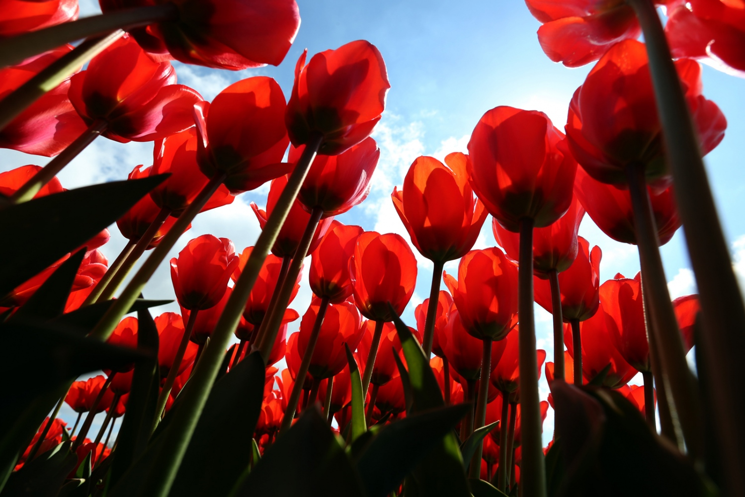 Of the 1,700 varieties of tulips, about 80 percent come from Holland, which exports more than $1 Billion worth of tulips per year.